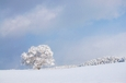 一本桜冬景色Ⅱ 雪桜