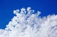 安比スキー場にて 雪サンゴ