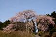 2009.4.19 須川牧場付近で 枝垂れ桜