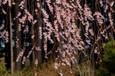 枝垂れ桜Ⅳ ゆらゆらと・・・