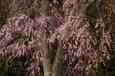 枝垂れ桜Ⅲ
