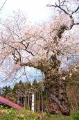 千厩 種蒔桜