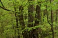 スヌーピーの滝 下流 ブナ林