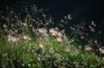 朝露に輝くチングルマ