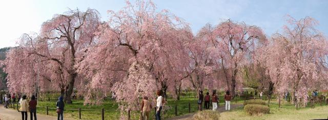 米内の枝垂れ桜
