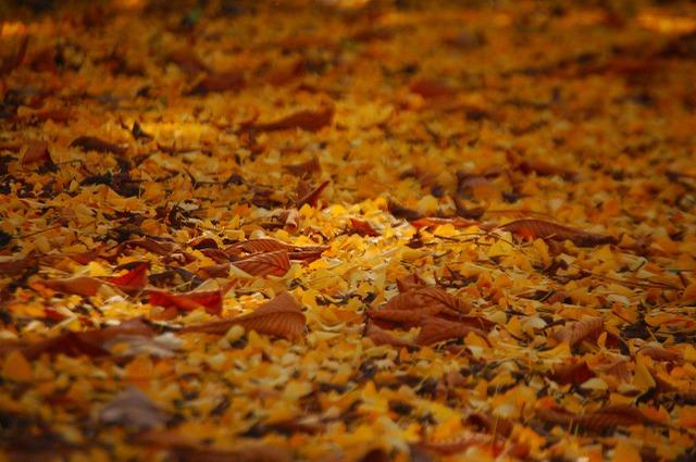銀杏の落ち葉