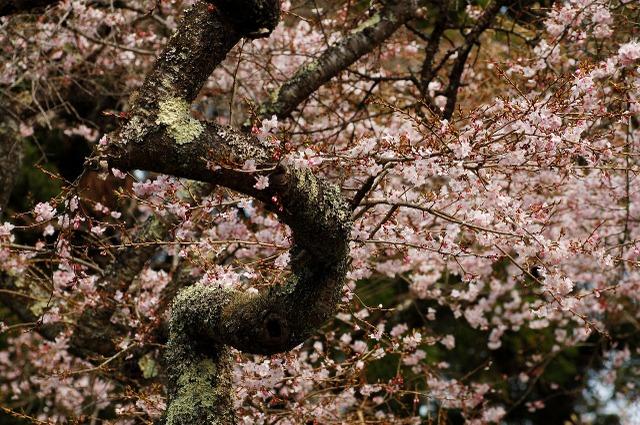 2009年4月12日 正法寺四季桜