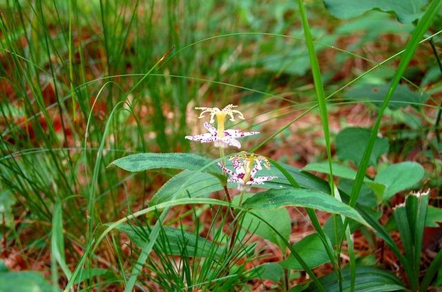 鵜の巣断崖に咲く花 ヤマジノホトトギス
