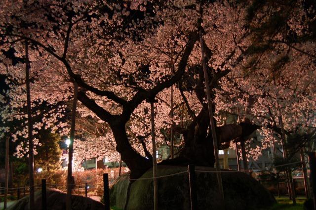 石割桜ライトアップ シルエット