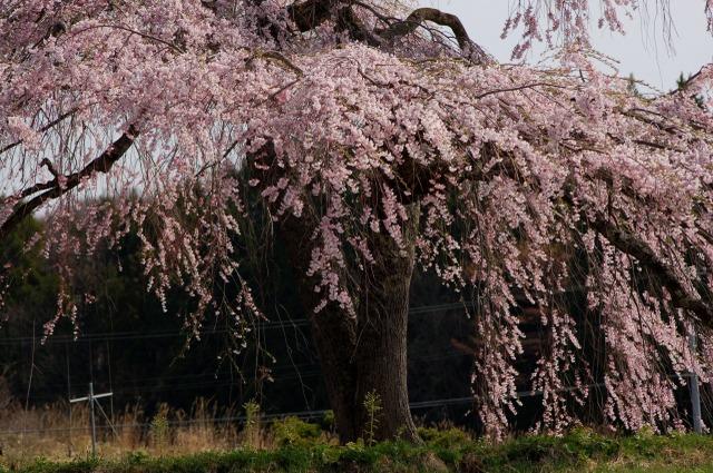 枝垂れ桜Ⅱ