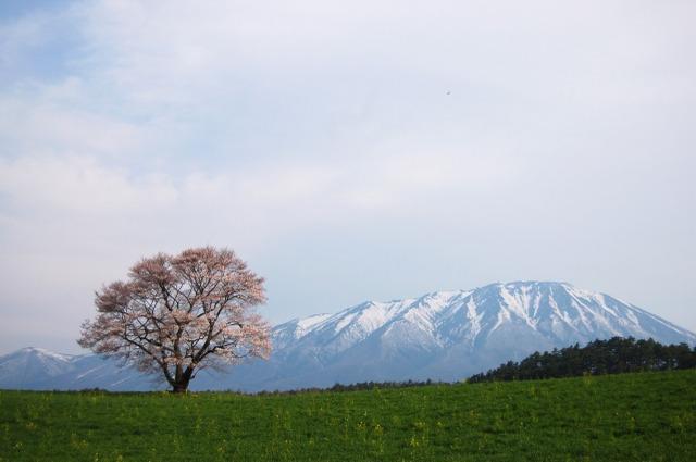 2009年5月1日小岩井の一本桜