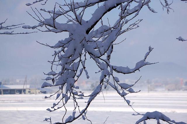 桜の木に咲く白い雪