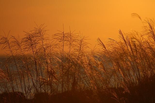 金色に輝くすすき