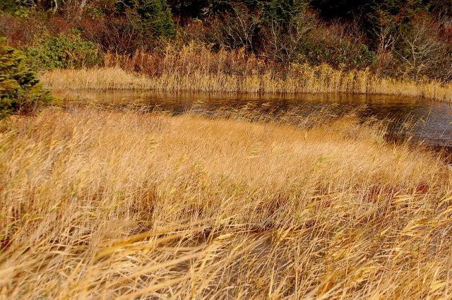 睡蓮沼の草黄葉