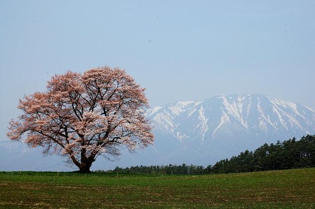 小岩井の一本桜 Ⅰ