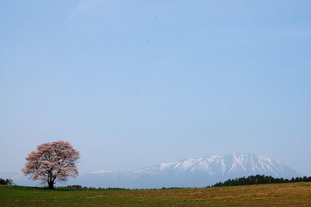 一本桜 Ⅱ