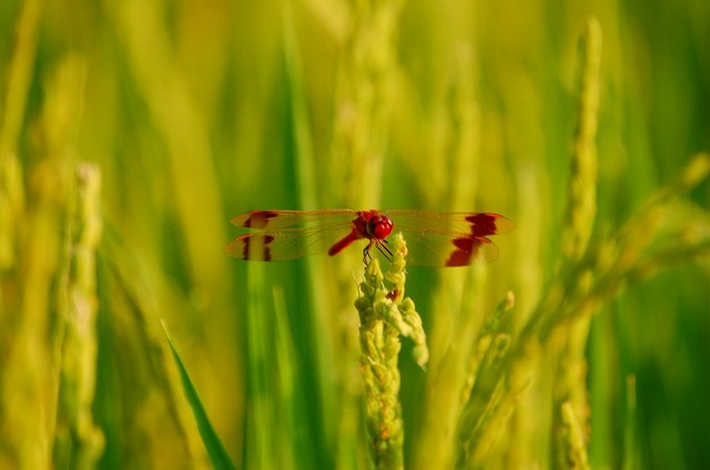 稲と赤とんぼ 稲と赤とんぼ 指から目を転じて田んぼに移った。そこには夕陽に照らせれて... ふる