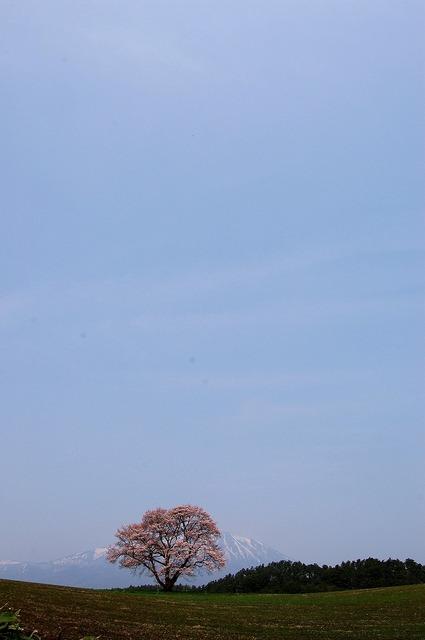 小岩井 一本桜 Ⅲ